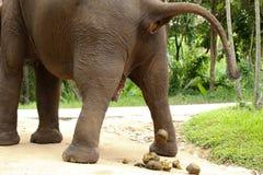 Слон испражняясь Стоковые Фото