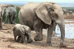 Слон и мама младенца африканский Стоковая Фотография