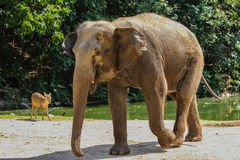 Слон и олени Стоковые Фотографии RF