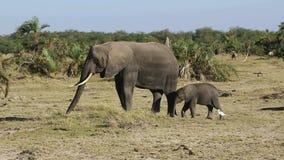 Слон и слон есть траву в оазисе в саванне в засушливом сезоне