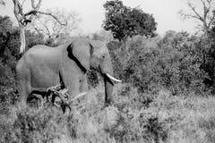 Слон идя в Буша Стоковая Фотография RF