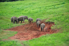 Слон идя на траву Стоковая Фотография