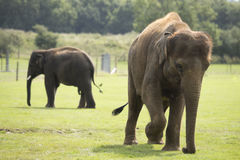 Слон идя на траву Стоковая Фотография RF