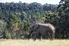 Слон идя на луг, Южная Африка Стоковые Фото