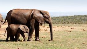 Слон идя с его матерью - слон младенца Буша африканца Стоковое Фото