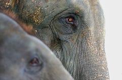 Слон конца-вверх, азиатский слон Стоковые Изображения