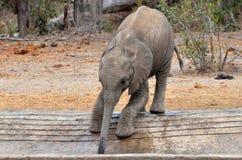 Слон куста младенца африканский (africana Loxodonta) Стоковое Фото