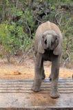 Слон куста младенца африканский (africana Loxodonta) Стоковое фото RF
