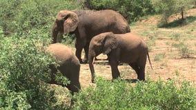 Слон матери африканский и молодые икры едят листья на саванне акции видеоматериалы