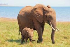 Слон матери и младенца стоя на бечевнике в озере Kariba Стоковые Фотографии RF
