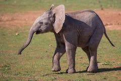 Слон милого младенца африканский Стоковая Фотография