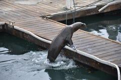 Слон моря стоковое фото