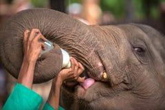 Слон младенца быть питанием с молоком в Pinnawala, Шри-Ланке Стоковое Изображение RF
