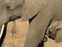 Слон младенца выпивая от своей матери стоковые фотографии rf