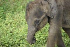 Слон младенца в Шри-Ланке Стоковое Изображение