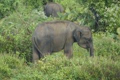 Слон младенца в Шри-Ланке Стоковая Фотография