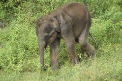 Слон младенца в Шри-Ланке Стоковые Фотографии RF