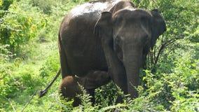 Слон младенца и ее мать в Шри-Ланке Стоковые Изображения