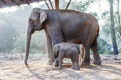 Слон младенца и своя мать на национальном парке Chitwan, Непале стоковые изображения rf