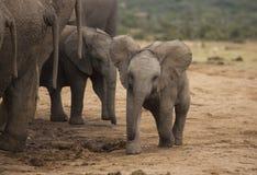 Слон младенца на водопое Стоковая Фотография