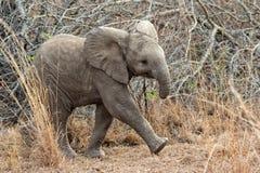 Слон младенца на национальном парке kruger Стоковые Изображения