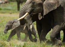 Слон младенца оно идет близко к его матери вышесказанного Кения Танзания serengeti Maasai Mara стоковые изображения rf