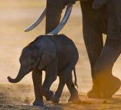 Слон младенца оно идет близко к его матери вышесказанного Кения Танзания serengeti Maasai Mara стоковые изображения