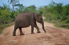 Слон младенца пересекая дорогу Стоковые Фотографии RF