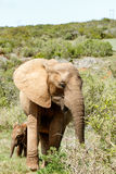 Слон младенца прячет за его мамой Стоковое фото RF