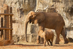 Слон младенца сосунка африканский играя с мамой Стоковые Фотографии RF