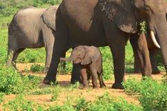Слон младенца чувствуя безопасный Стоковая Фотография