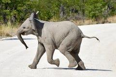 Слон младенца - Etosha, Намибия Стоковое Фото