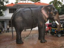 слон наслаждаясь погружением Индией Стоковые Изображения RF
