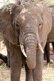Слон, национальный парк Tarangire, Танзания Стоковые Изображения