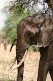 Слон, национальный парк Tarangire, Танзания Стоковая Фотография