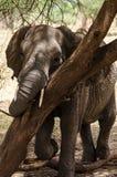 Слон, национальный парк Tarangire, Танзания Стоковое Изображение RF