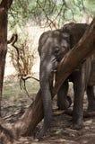 Слон, национальный парк Tarangire, Танзания Стоковое Изображение