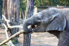 Слон на национальном парке Chitwan, Непал младенца стоковые изображения
