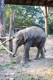 Слон на национальном парке Chitwan, Непал младенца стоковая фотография