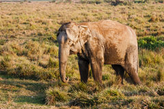Слон на национальном парке Chitwan, Непал стоковое изображение