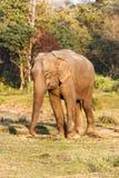 Слон на национальном парке Chitwan, Непал стоковая фотография rf