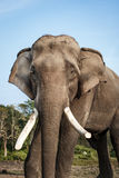 Слон на национальном парке Chitwan, Непал стоковые фото