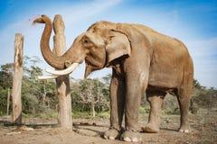 Слон на национальном парке Chitwan, Непал стоковое фото rf