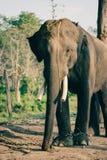 Слон на национальном парке Chitwan, Непал стоковые изображения rf