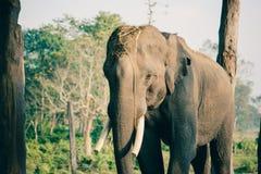 Слон на национальном парке Chitwan, Непал стоковые фотографии rf