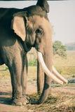 Слон на национальном парке Chitwan, Непал стоковые изображения