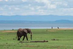 Слон на национальном парке Matusadona Стоковое фото RF