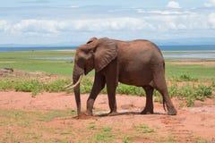 Слон на национальном парке Matusadona Стоковое Фото
