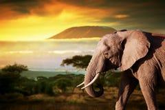 Слон на саванне. Mount Kilimanjaro на заходе солнца Стоковые Фото