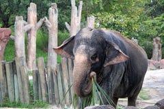 Слон на садах Busch в Тампа Флориде Стоковое Изображение